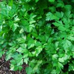parsley-in-bed